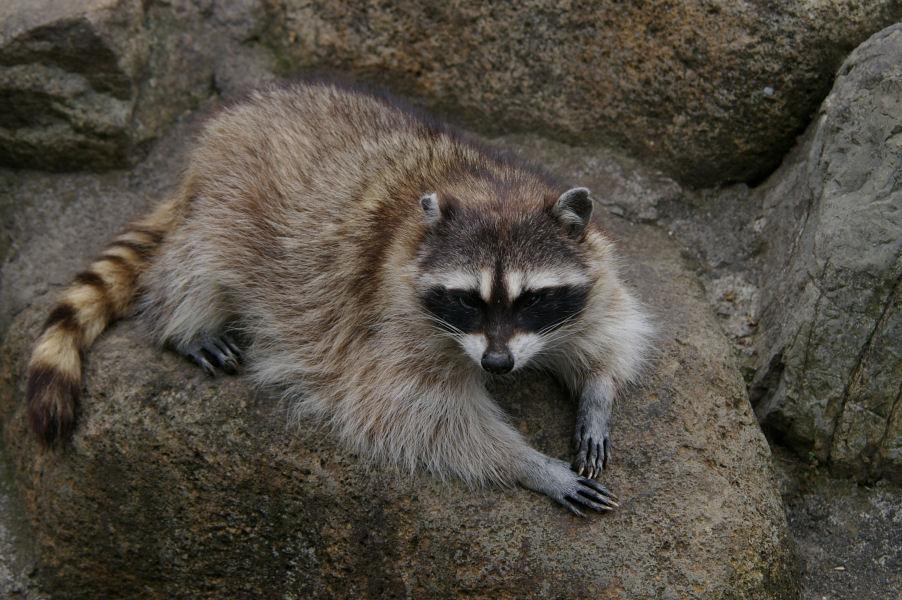 アライグマやヌートリアの被害でお困りの方へ捕獲檻を貸し出し